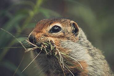An Arctic Ground Squirrel (Uroticellus parryii) collects gras for it's nest. Yukon Territory, Canada