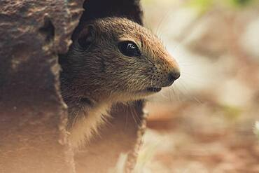 An Arctic Ground Squirrel Baby (Uroticellus parryii) looks out of a rusty pipe. Yukon Territory, Canada