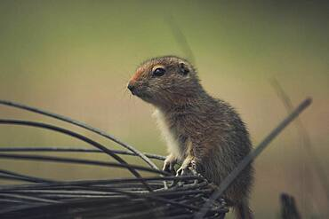 An Arctic Ground Squirrel Baby (Uroticellus parryii) climbs over a roll of wire. Yukon Territory, Canada