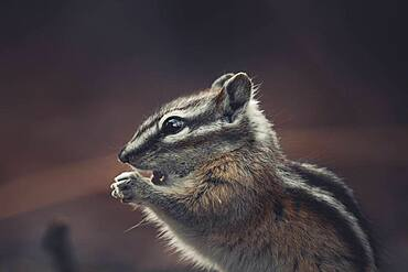 A little Chipmunk (Tamias minimus) is about to take a big bite of a little seed. Yukon Territory, Canada