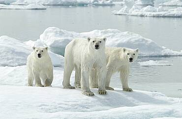 Mother Polar Bear (ursus maritimus) with cubs dripping on ice in sub-arctic Wager Bay near Hudson Bay, Churchill area, Manitoba, Northern Canada