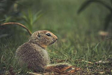 An Arctic Ground Squirrel Baby (Uroticellus parryii) sits in the gras. Yukon Territory, Canada