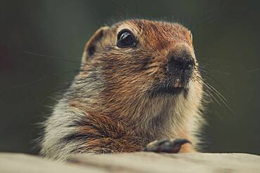 An Arctic Ground Squirrel (Uroticellus parryii) looks at the camera. Yukon Territory, Canada