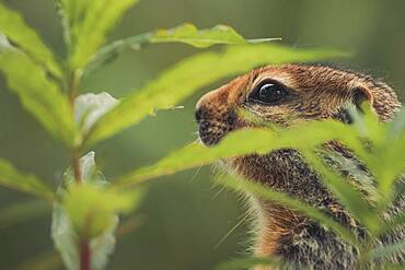 An Arctic Ground Squirrel (Uroticellus parryii) in the fireweed. Yukon Territory, Canada