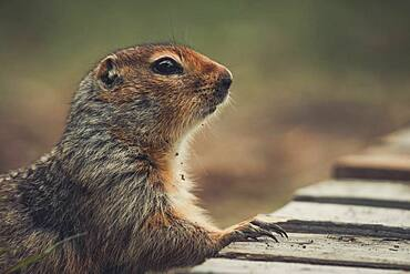 An Arctic Ground Squirrel (Uroticellus parryii) puts his paw on a wooden deck. Yukon Territory, Canada