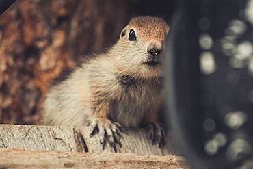 An Arctic Ground Squirrel Baby (Uroticellus parryii) sits on a piece of wood. Yukon Territory, Canada