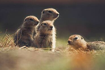 Four Arctic Ground Squirrel Babies (Uroticellus parryii) watch out for danger. Yukon Territory, Canada