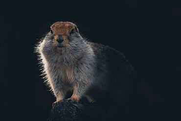 An arctic ground squirrel (Urocitellus parryii) sits on a log in his winter coat. Yukon Territory, Canada