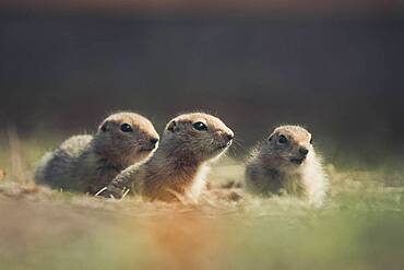 Three Arctic Ground Squirrel Babies (Uroticellus parryii) exiting their den. Yukon Territory, Canada