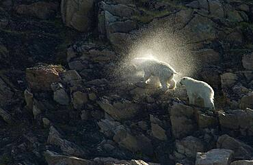 Mother Polar Bear (ursus maritimus) with cub shaking off water halo on rocky cliff in sub-arctic Wager Bay near Hudson Bay, Churchill area, Manitoba, Northern Canada