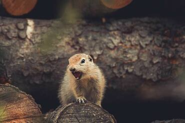 An Arctic Ground Squirrel Baby (Uroticellus parryii) screams to warn the colony of danger. Yukon Territory, Canada