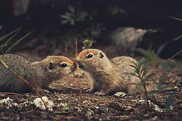 Two Arctic Ground Squirrel Babie (Uroticellus parryii) touch noses as if they would be kissing. Yukon Territory, Canada