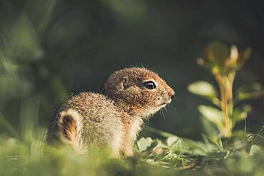 An Arctic Ground Squirrel Baby (Uroticellus parryii) sits in the golden light of the sunset. Yukon Territory, Canada