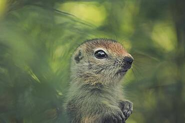 An Arctic Ground Squirrel Baby (Uroticellus parryii) stands amidst green plants. Yukon Territory, Canada