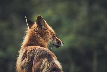 A red fox (Vulpus vulpus) stares into the forest. Yukon Territory, Canada
