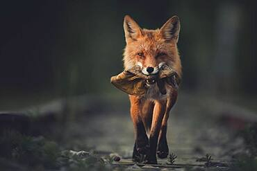 A red fox (Vulpus vulpus) runs proudly with a leather glove in his mouth. Yukon Territory, Canada