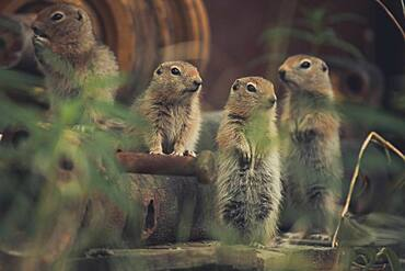 Four young Arctic Ground Squirrel (Uroticellus parryii) watch their surroudings. Yukon Territory, Canada
