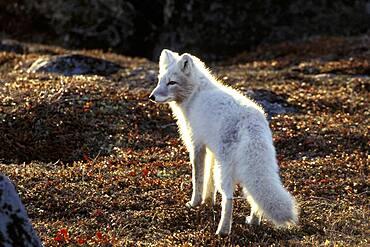 Arctic Fox (Alopex lagopus) fall tundra backlight near Churchill, Manitoba, Northern Canada