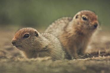 Two 2 weeks old Arctic Ground Squirrels (Urocitellus parryii) observe their surroundings. Yukon Territory, Canada