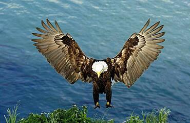 Adult Bald Eagle (Haliaeetus leucocephalus) flying and landing on nest in Dutch Harbor, Alaska, Aleutian islands chain, Bering Sea, Unalaska
