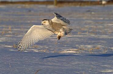 Snowy Owl (Nyctea scandiaca) adult female hunting over snowy field in warm sunset light catching mouse prey near Oak Hammock Marsh, Winnipeg, Manitoba, Canada