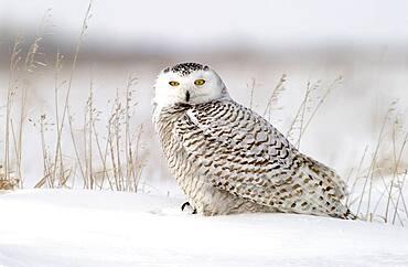 Snowy Owl (Nyctea scandiaca) adult female perched in snowy field near Oak Hammock Marsh, Winnipeg, Manitoba, Canada