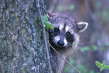 Common Raccoon ( Procyon lator ) clinging to tree peering sadly with suspicion at photographer Point Pelee Ontario Canada
