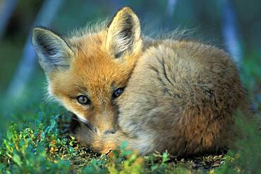 Wary young red fox kit ( Vulpes vulpes ) napping near boreal den near Churchill Manitoba Hudson Bay Northern Sub-arctic Canada