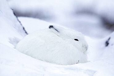 Adult Arctic Hare (Lepus arcticus) camouflage hiding in snow near Hudson Bay, Churchill area, Manitoba, Northern Canada