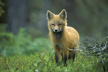 Young red fox kit ( Vulpes vulpes ) portrait near Churchill Manitoba Hudson Bay Northern Sub-arctic Canada