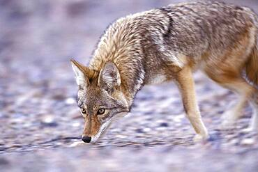 Coyote ( Canis latrans ) tracking sniffing hunting for prey food in Death Valley National Park California USA