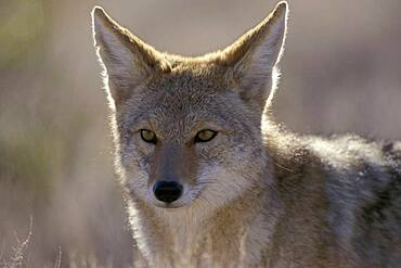 Coyote ( Canis latrans ) portrait in Red Rock Canyon near Las Vegas Nevada USA