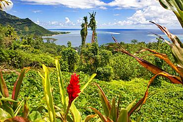 Red Tower Ginger; Spiral Ginger; Costus comosus in Moorea, French Polynesia, Society Islands, South Pacific.