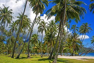 Public beach Opunohu Beach and Ta'ahiamanu beach in Moorea, Cook's Capitan Bay, French Polynesia, Society Islands, South Pacific.