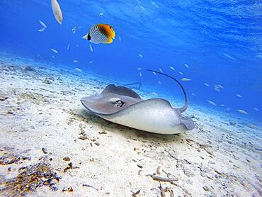 Sting rays in the shallow waters of the Bora Bora lagoon, Moorea, French Polynesia, Society Islands, South Pacific. Cook's Bay.