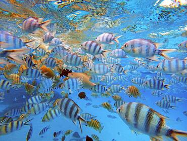 Snorkeling excursion in the shallow waters of the Bora Bora lagoon, Moorea, French Polynesia, Society Islands, South Pacific. Cook's Bay.