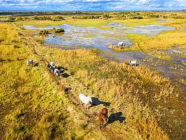Camargue horses (Equus caballus), herd gallopping through water, Saintes-Marie-de-la-Mer, Camargue, Le-Grau-du-Roi, Department Gard, Languedoc-Roussillon, southern France
