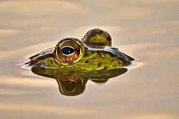 Bullfrog reflected in water.