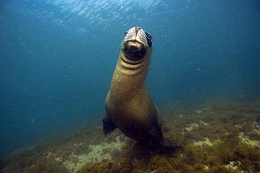 Sea lion, Otaria flavescens, Punta Loma, Puerto Madryn, Chubut, Patagonia, Argentina