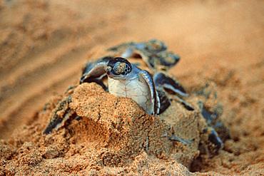 Green sea turtles hatching, Chelonia mydas, Fernando de Noronha, Pernambuco, Brazil.