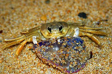 Crab preying on dead portuguese man-of-war, Physalia physalis, Praia do Forte, Bahia, Brazil (South Atlantic)