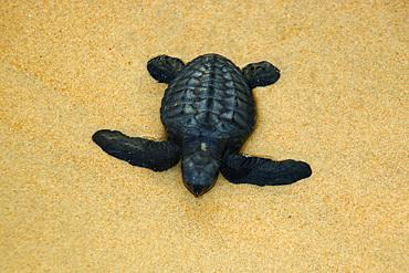 Olive ridley turtle hatchling, Lepidochelys olivacea, Costa do Sauipe, Bahia, Brazil (South Atlantic)