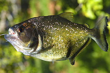 Piranha (Pygocentrus nattereri), a carnivorous fish, caught on a line, southern Pantanal, Mato Grosso do Sul, Brazil