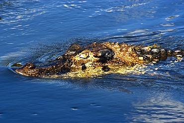 Black caiman, Melanosuchus niger, lurks in the water, Mamiraua sustainable development reserve, Amazonas, Brazil