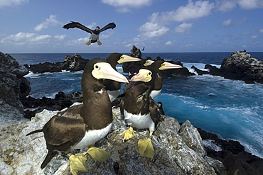 Brown boobies, Sula leucogaster, and bay, St. Peter and St. Paul's rocks, Brazil, Atlantic Ocean