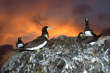 Brown boobies, Sula leucogaster, rookery at dusk, St. Peter and St. Paul's rocks, Brazil, Atlantic Ocean