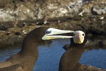 Brown booby, Sula leucogaster, male pecking at female, St. Peter and St. Paul's rocks, Brazil, Atlantic Ocean