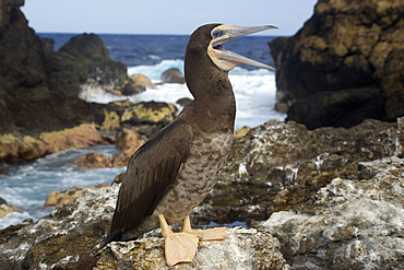 Brown booby, Sula leucogaster, mouth open, St. Peter and St. Paul's rocks, Brazil, Atlantic Ocean