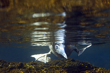 Brown booby, Sula leucogaster, foraging underwater, St. Peter and St. Paul's rocks, Brazil, Atlantic Ocean