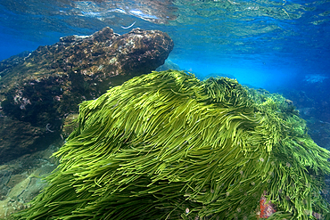 Green algae, Caulerpa racemosa, St. Peter and St. Paul's rocks, Brazil, Atlantic Ocean